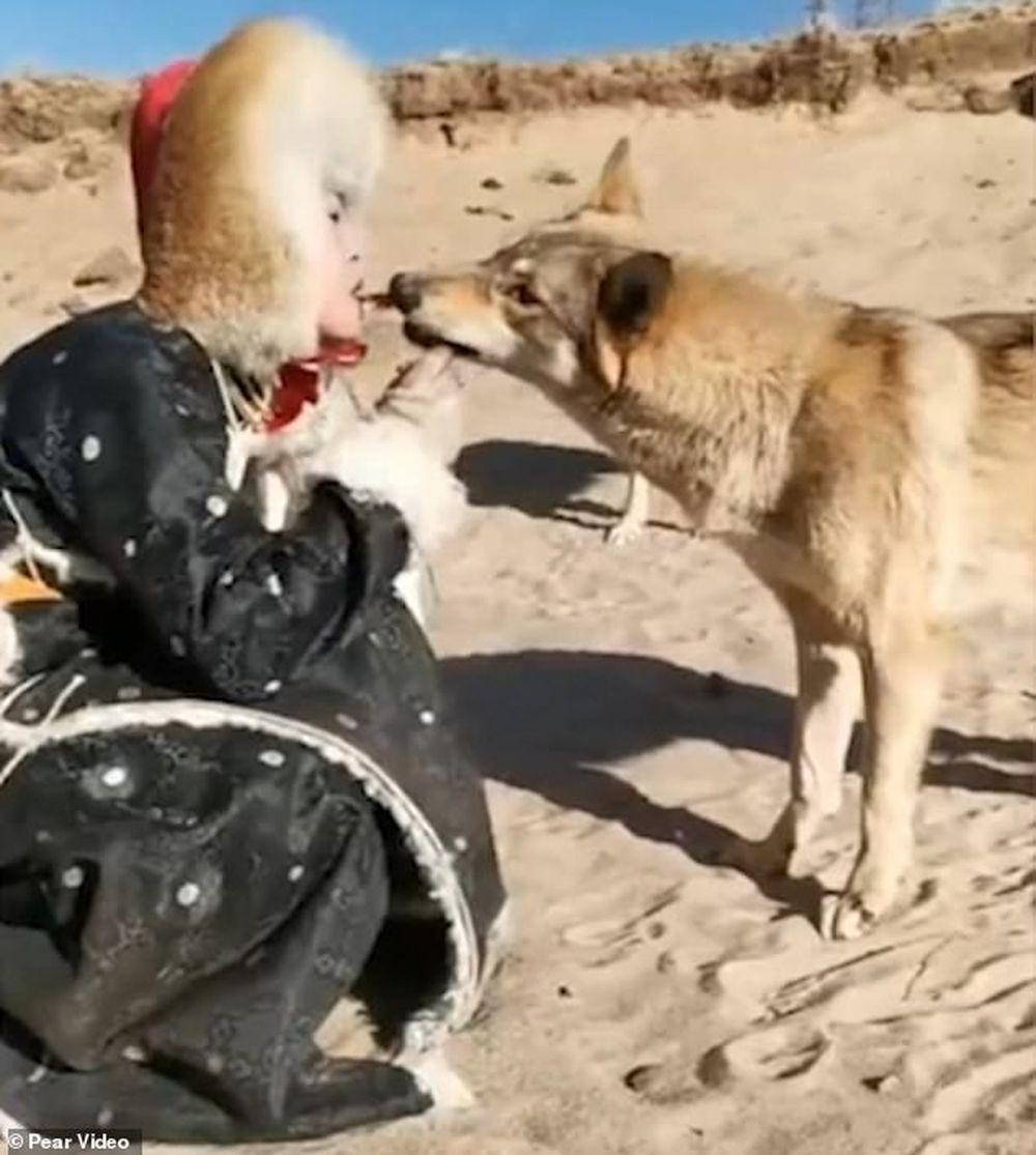 ... cho chúng ăn, còn những con sói tuyệt đẹp thì đang chơi đùa xung quanh  và hào hứng lấy miếng thịt từ miệng cô đã thu hút hơn 3 triệu lượt xem.