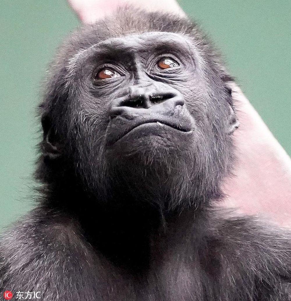 Theo cô Kelly, con khỉ đột Obi không hề ngượng ngừng khi thấy con người. Ngay cả khi thấy máy ảnh, Obi vẫn thoải mái thể hiện bản thân, ...