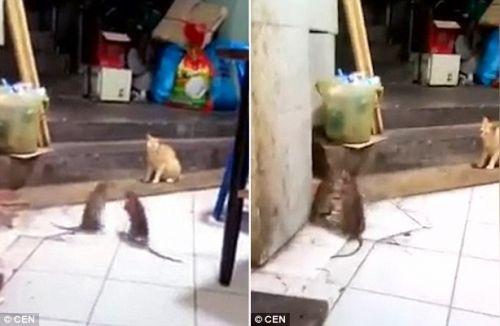 """Về cuối, khi đôi bên đuổi bắt căng thẳng, con mèo sợ hãi cong đuôi, nhanh  chóng nhảy lên phía trên để """"dọn đường""""."""