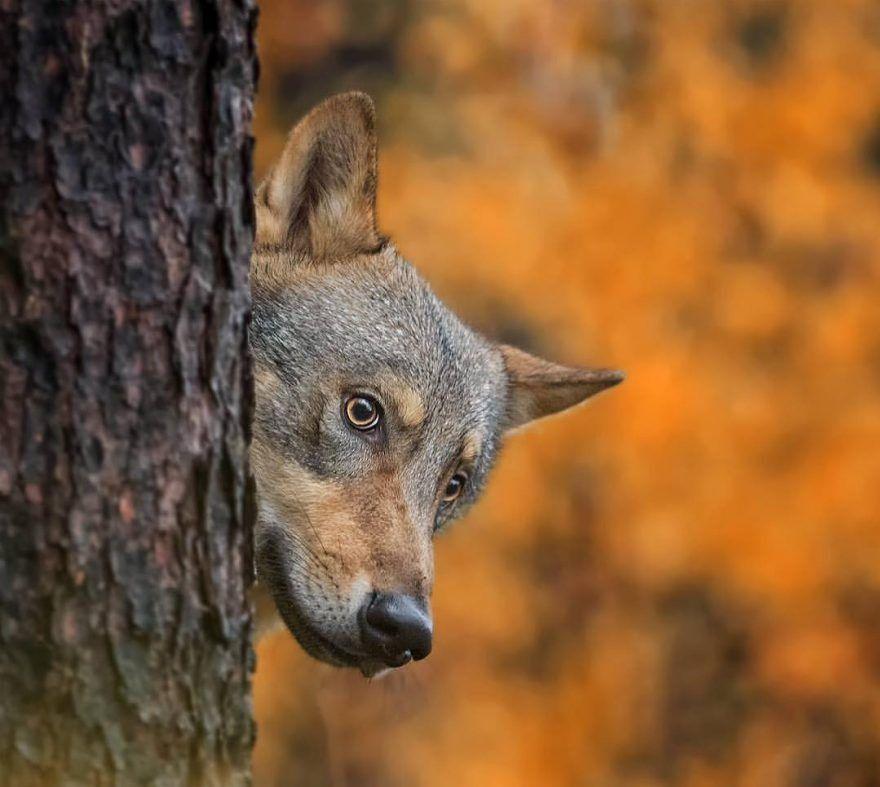 Rất muốn được chú ý nhưng cũng ngại ngùng, xấu hổ, con sói rừng này trốn sau gốc cây và nhìn lén nhiếp ảnh gia một cách cực kỳ đáng yêu, hài hước.
