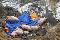 Lần đầu tiên, phát hiện 2 ổ dịch tả lợn châu Phi tại Việt Nam