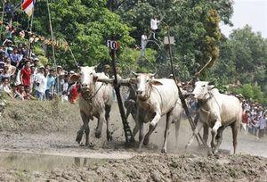 Về An Giang xem Hội đua bò