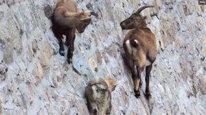 Đàn dê đứng cheo leo trên vách đá dựng đứng để liếm muối
