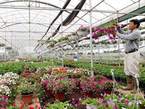 Nhà vườn Văn Giang tất bật chuẩn bị phục vụ Tết