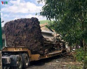 Thừa Thiên Huế: Bắt giữ xe chở cây 'khủng' trái phép trên quốc lộ 1A