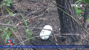 Hàng nghìn cây thông bị hạ độc - khuất tất trong quản lý rừng ở Lâm Hà