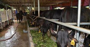 Đảo nuôi giống bò đắt nhất hành tinh
