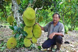 Giá mít Thái 'lao dốc không phanh', sầu riêng và hạt điều cung không đủ cầu