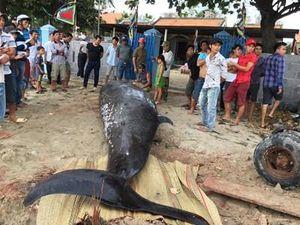 Cá voi khổng lồ dạt vào bờ biển Khánh Hòa