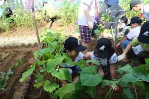 Trồng cây thảo dược thay thế mật gấu tại trường tiểu học ở Hà Nội