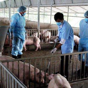 Ninh Thuận: Chưa đến một tháng tiêu hủy gần 300 con lợn bị dịch tả Châu Phi