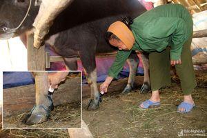 Xuất hiện dịch lở mồm long móng trên gia súc tại TP. Vinh