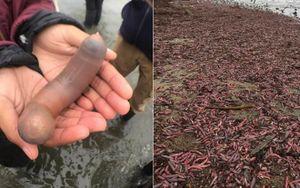 Hàng nghìn cá dương vật dạt vào bờ biển sau cơn bão lớn