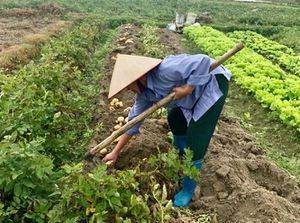 Hiệu quả từ trồng khoai tây hữu cơ