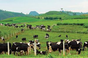 Chung Chủ tịch HĐQT: GTNFoods, Mộc Châu Milk và Vilico cộng hưởng lợi thế