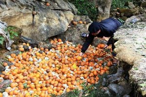 Người trồng cam thiệt hại nặng nề do cam rụng hàng loạt