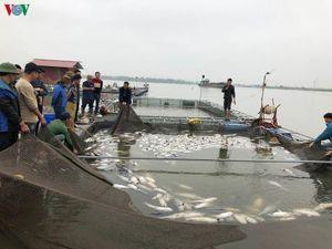 Hải Dương: Hơn 100 tấn cá lồng chết, thiệt hại hàng chục tỷ đồng