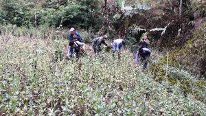 Phá bỏ nương trồng cây thuốc phiện ở biên giới Việt-Lào