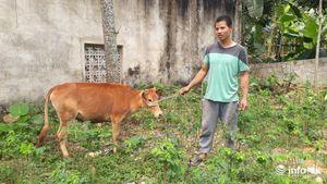 Thanh Hóa: Trâu, bò dự án phục hồi sinh kế ốm yếu, chết bất thường