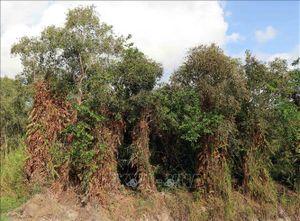 Trên 44.000 ha rừng Cà Mau đang ở mức báo động cháy cấp cao nhất