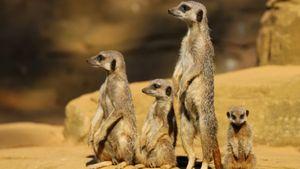 Cầy vằn mẹ hung hăng đuổi đánh, trục xuất 4 con gái ra khỏi đàn