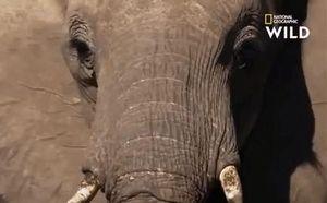 'Cỗ quan tài di động' Mamba đen giở trò gì khiến bầy voi cuống cuồng tháo chạy?