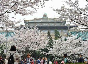Hoa anh đào Vũ Hán nở rộ trong những ngày phong tỏa cuối cùng