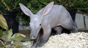 Lợn có tai thỏ, biết bơi giống vịt và đứng bằng 2 chân như chuột túi