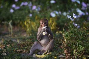 Hàng trăm con khỉ 'bao vây' các tuyến phố quanh dinh tổng thống Ấn Độ
