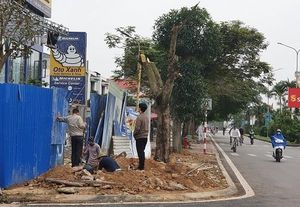 Hải Phòng: Hàng loạt cây phượng ngang nhiên bị chặt hạ