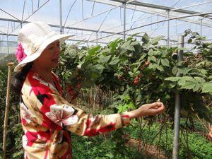 Nông trại hữu cơ vùng cao nguyên Langbiang đạt tiêu chuẩn Nhật Bản
