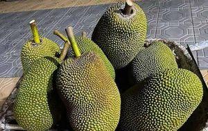 TP Hồ Chí Minh: Mít Thái ế ẩm, rớt giá chỉ còn 10.000-13.000 đồng/kg