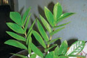 Làm giàu nhờ trồng cây hiếm - Phát tài nhờ kim phát tài