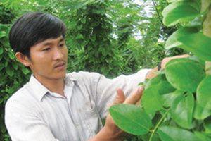 Làm giàu nhờ trồng cây hiếm: Thoát nghèo nhờ sâm rừng