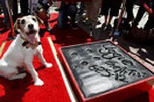 Chú chó đầu tiên được lưu dấu chân tại Hollywood