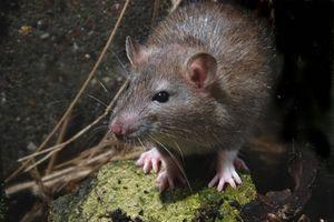 Phát hiện chuột cống mang virus gây suy thận ở TPHCM