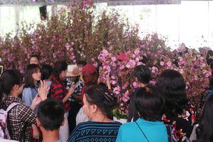 Dân Sài Gòn háo hức xem hoa anh đào trong 'nắng như thiêu'