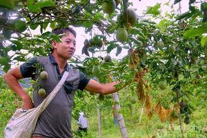 Giá chanh leo 4.000 đồng/kg, nhà máy 'chơi khó' nông dân