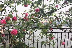 Mỏi mắt ngắm vườn hồng tuyệt đẹp trên sân thượng nhà Hà Nội
