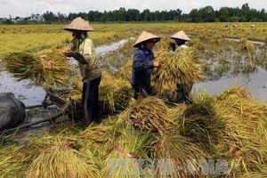 Nông dân Hậu Giang lỗ nặng do lúa Thu Đông đạt năng suất thấp