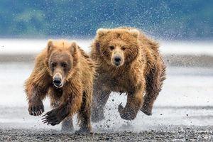 Cuộc sống kịch tính của mẹ con gấu nâu hoang dã