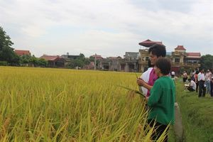 HDT10 - giống lúa thơm chất lượng cao