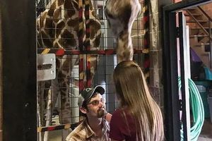 Lạ: Nhờ hươu cao cổ giúp cầu hôn bạn gái