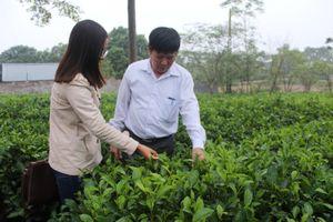 Xây dựng thương hiệu 'Chè Long Phú'