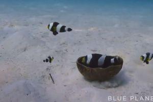 Bầy cá hề hợp sức mang vỏ dừa về làm tổ