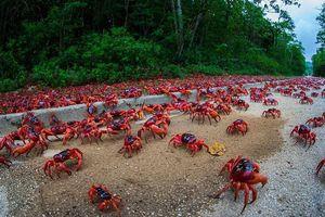 Cuộc di cư 'rầm rộ' của hàng triệu con cua nhuộm đỏ cả một hòn đảo