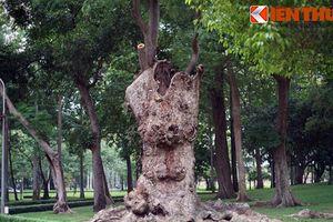 'Soi' cây cổ thụ khổng lồ rỗng ruột kỳ lạ ở Sài Gòn