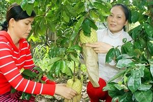 Nông dân miền Tây lo ngại thất thu vụ trái cây Tết