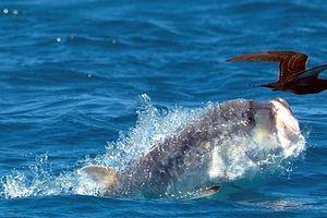 Cá vẩu khổng lồ phi thân trên mặt săn chim nhạn