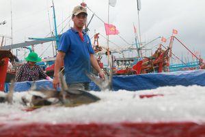 Ninh Thuận: Tránh bão, cá vào bờ hiếm, ngư dân kiếm cả trăm triệu đồng